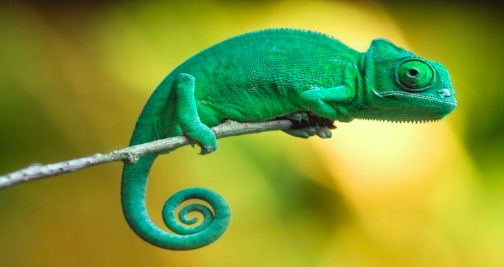 Chameleon perched on a branch
